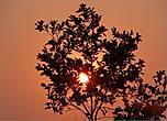 Окрасив полнеба в пурпурный цвет, какое-то время солнечный диск неподвижно висел над деревьями, словно говорил — любуйтесь мною...