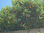 Остров Мадре. Мандарины в июле. А у меня они ассоциировались всю жизнь только с Новым годом.