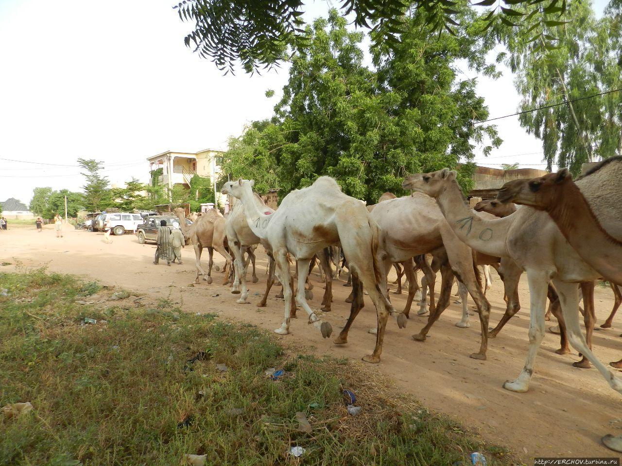 Нигер. Ч — 25. Скотоводческий рынок Зиндер, Нигер