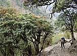 Тропа приводит нас в лес. Горные леса Лангтанга необычайно красивы и полны не только пьянящего  аромата трав и цветущих рододендронов, но и доносящихся из зарослей переливов птичьих трелей.