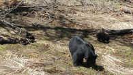 Фотографии медведей из разных парков США в Черном Каньоне мы медведей не встретили.