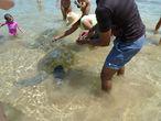 Вольно живущие черепахи довольны и сыты, все благодаря назойливым и не прекращающим кормить туристам!