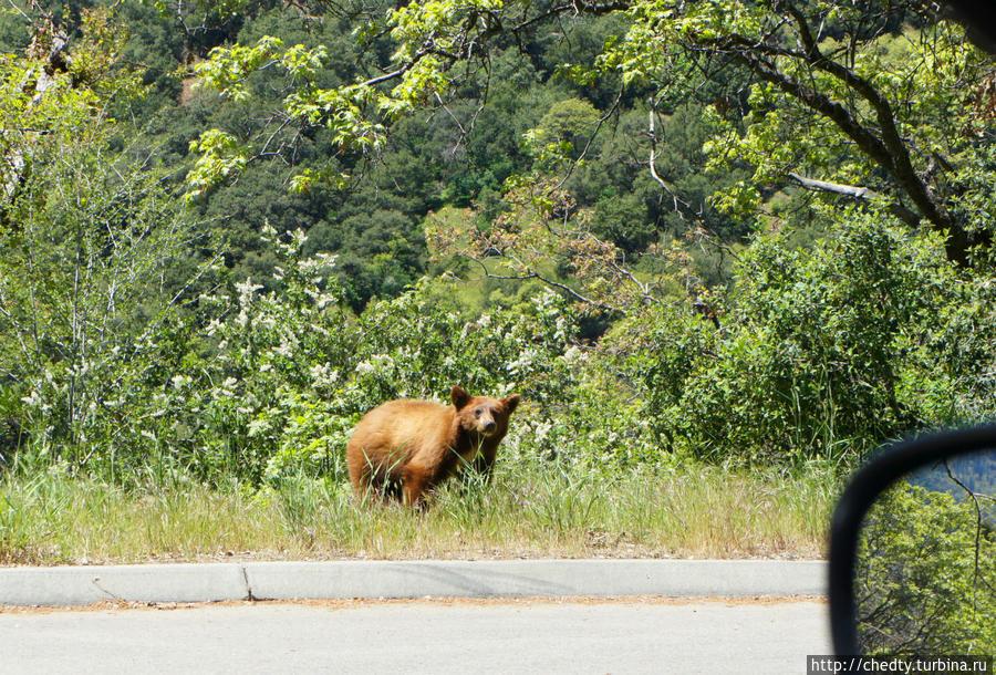 Фотографию с медведем вставил, что бы ответить на вопрос: Как близко к медведям можно подойти и какая аппаратура нужна для фотографирования? А как хотите, так и подходите. Они по дороге гуляют. Телефон в качестве аппаратуры вполне. Национальный парк Секвойя, CША