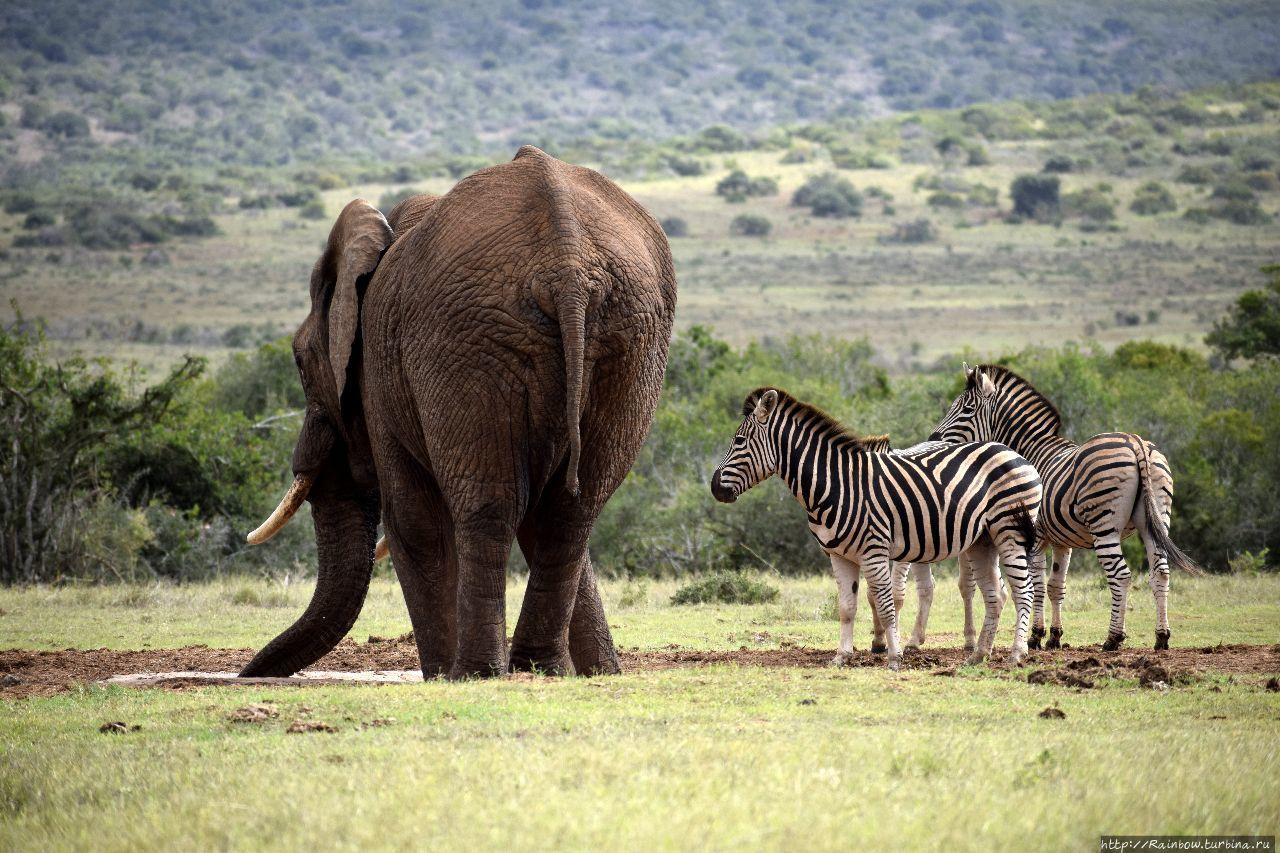 Слон здесь главный! Эддо Элефант Национальный Парк, ЮАР