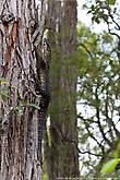 Австралийская яшерица