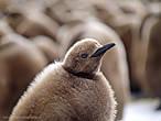 пингвина можно в рукопашной  взять в плен, а можно и убить,  но на колени не поставить их нет у этих гордых птиц