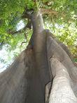 Это шелковое дерево Silk Tree