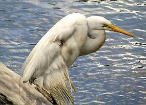 Это белая большая цапля — птица болотная вообще-то, но и здесь она находит себе пропитание раз живет