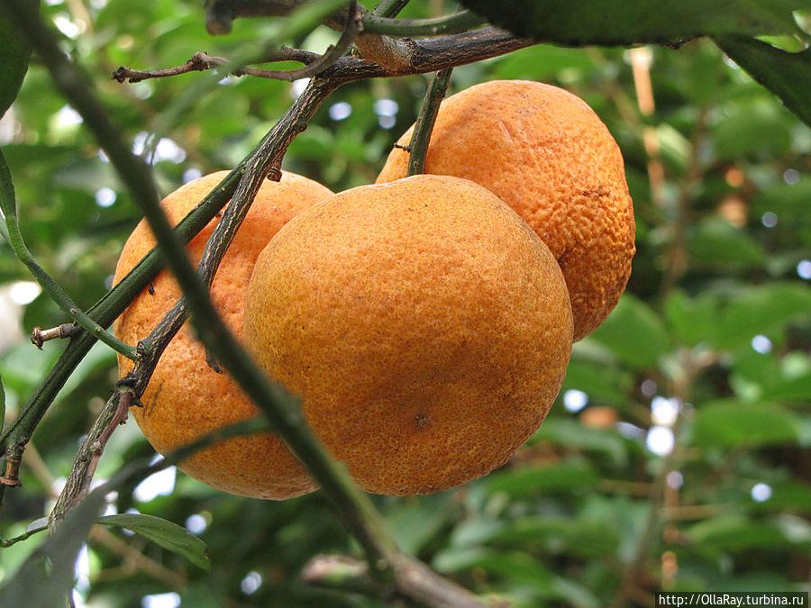 Плоды мандарина.