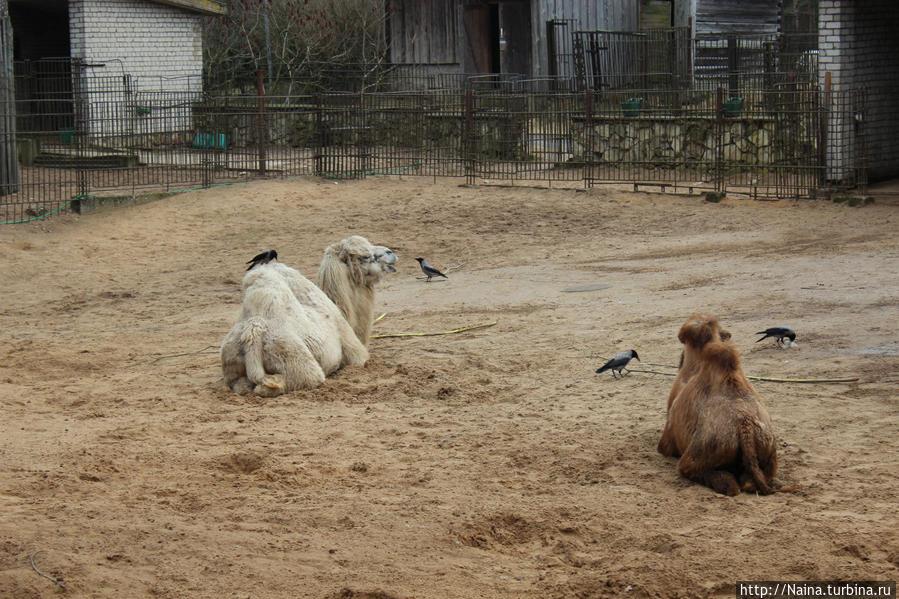 Ворона безмятежно поклевывает верблюда...