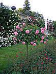 А вот это уже август, настала неделя роз