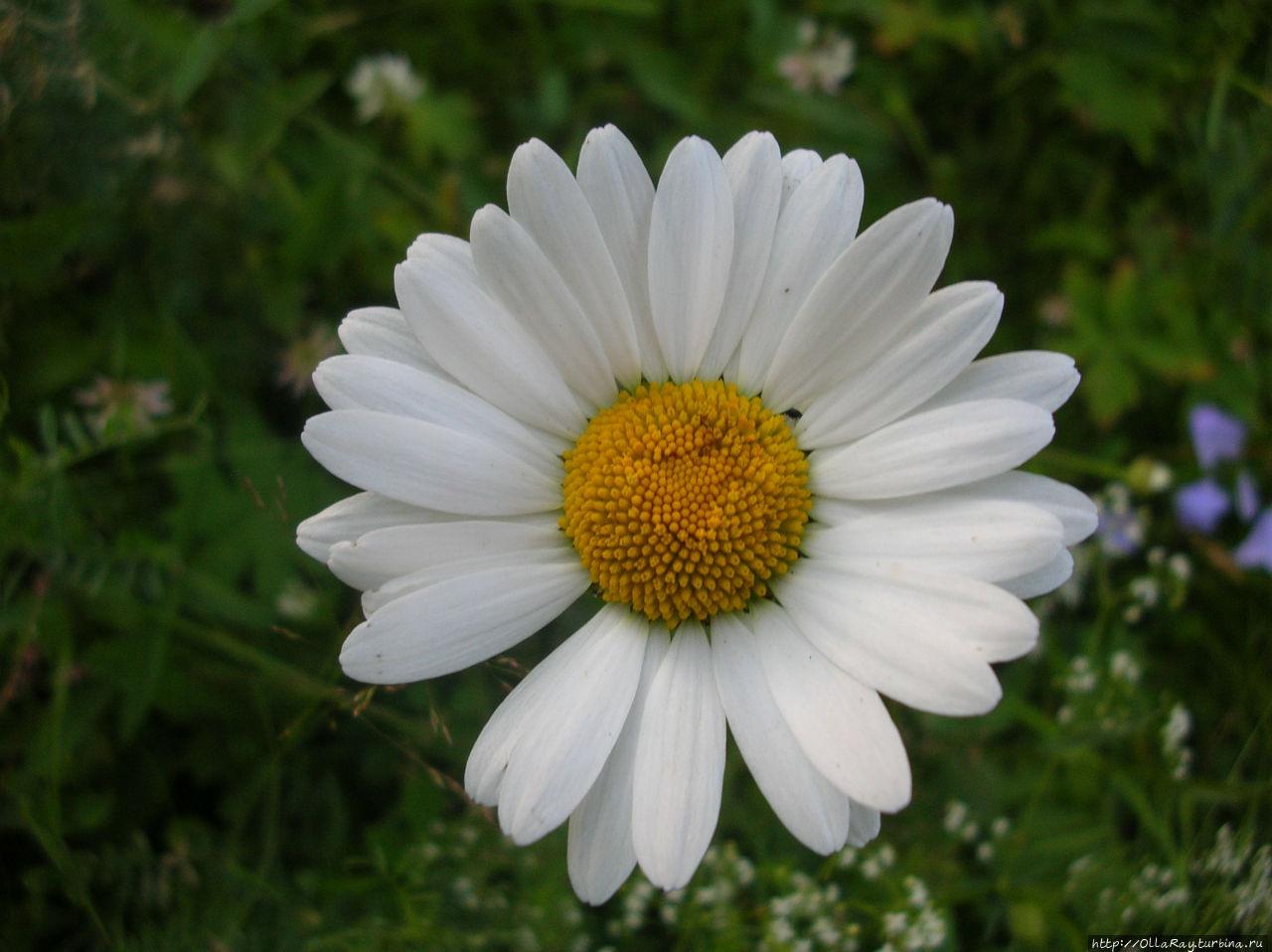 Сад. Ромашка