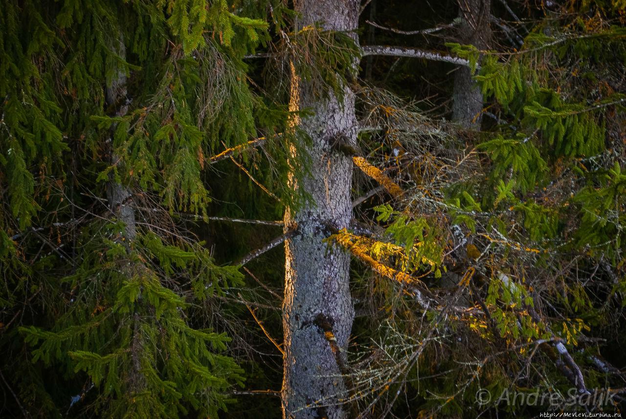 В лесу до рассвета Сигулда, Латвия