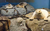 В музее тюленей в городке Квамстанги можно более детально ознакомиться с образом жизни этих млекопитающихся