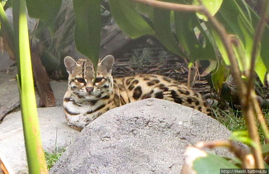 Небольшой представитель кошачьих; размером с крупного кота