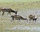 Особенно красиво смотрелись стада пятнистых оленей, пасущихся на цветущих лужайках.