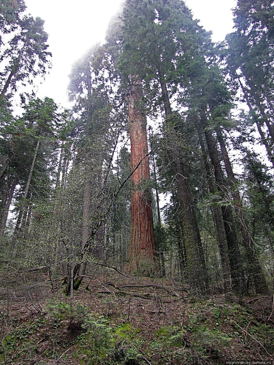 Паша, Витя, елки!!! Елки!!! Национальный парк Секвойя, Соединенные Штаты Америки