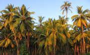Кокосовые пальмы на закате особенно красивы.