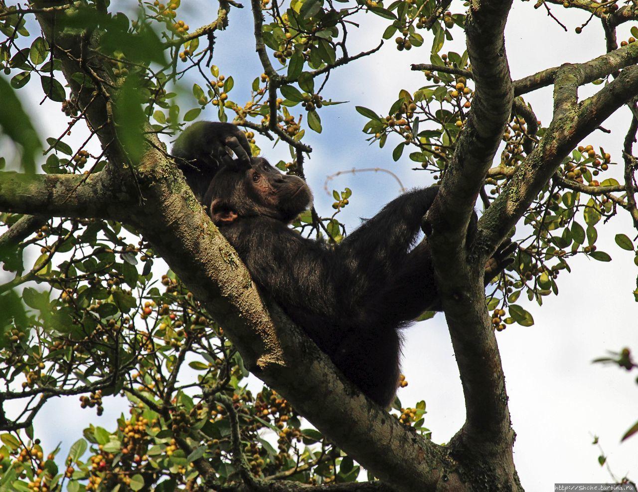 Трудно снимать черных шимпанзе в черном лесу, особенно утром