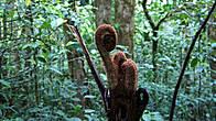 Побеги папоротника (обезьяний хвост)