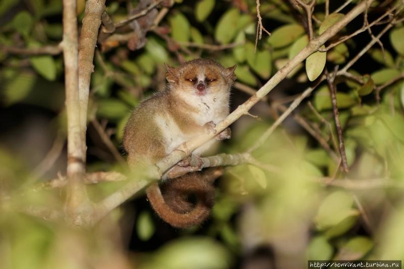 Мышиный лемур