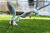 Чайки дерутся из-за клубники