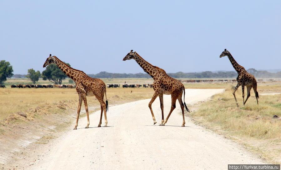 Жирафы в НП Амбосели