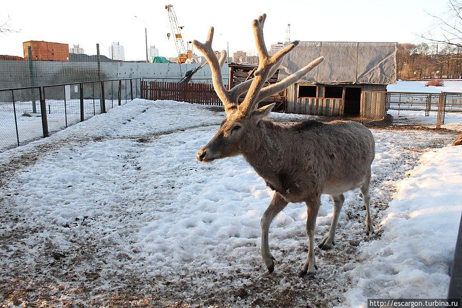 Олень Давида (Elaphurus-davidianus)  В Минском зоопарке содержится пара оленей Давида. Они прибыли из Ленинградского зоопарка в 2008 году. В 2011 году у пары родился олененок, самка. Ее назвали Пятнышко. В 2012 году у оленей Давида также родился олененок женского пола.