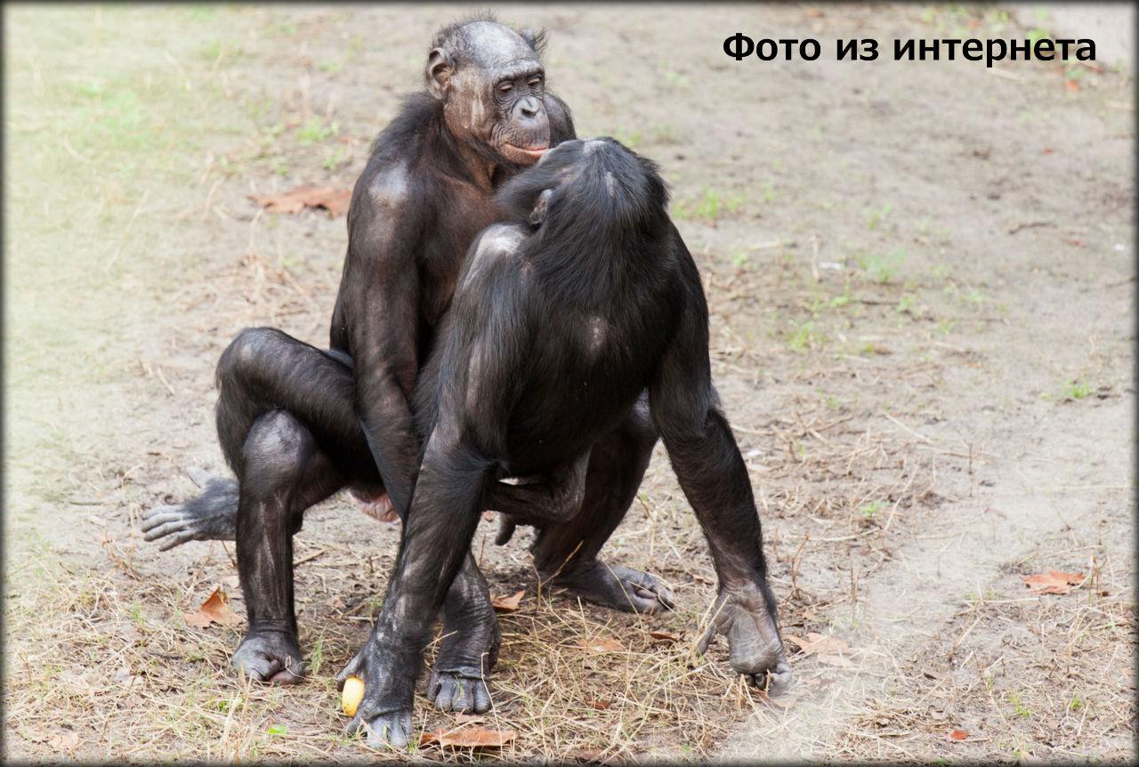 Обезьяны бонобо секс видио