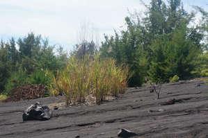 Несмотря   на  постоянные   извержения   у   основания  конуса   растет   приличный   лес,