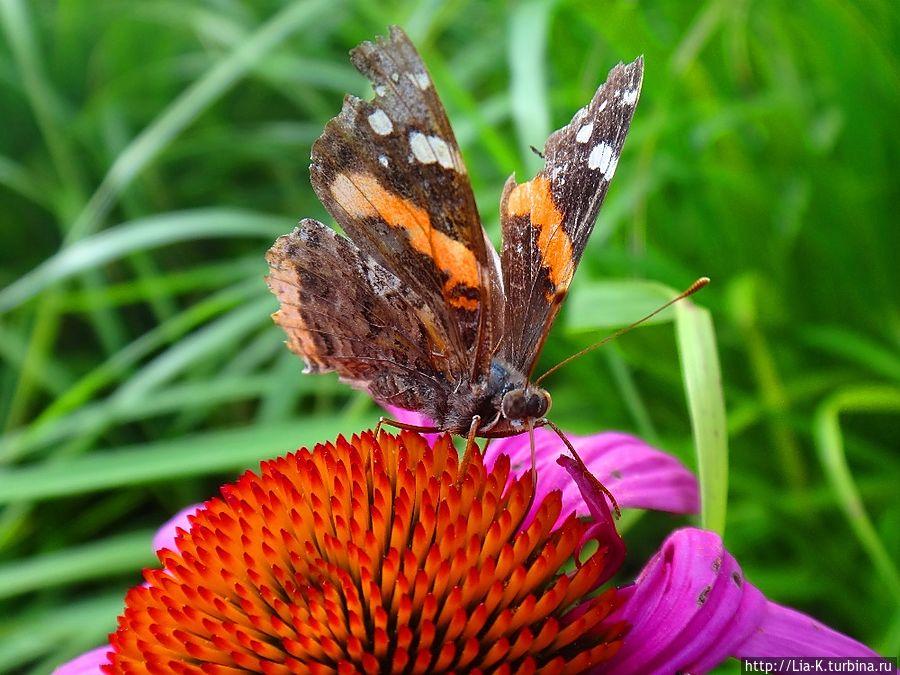 Бабочка Красный Адмирал — одна из основных обитателей этого ботанического сада.