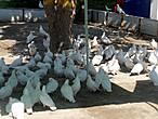 Только белые голуби...
