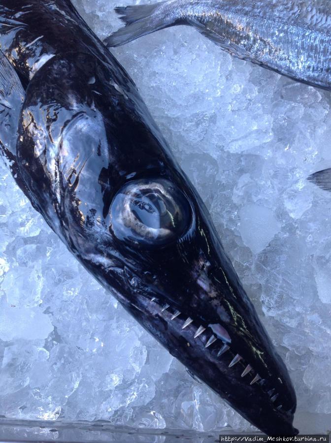 рыба сабля картинки красива