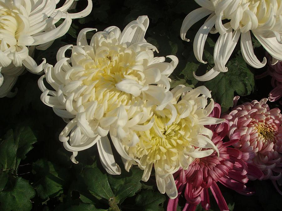 китайская хризантема картинка зальцкаммергута тот самый