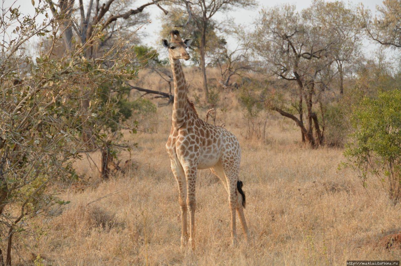ЮАР. Национальный парк Крюгера. Ожидания и реальность Национальный парк Крюгер, ЮАР