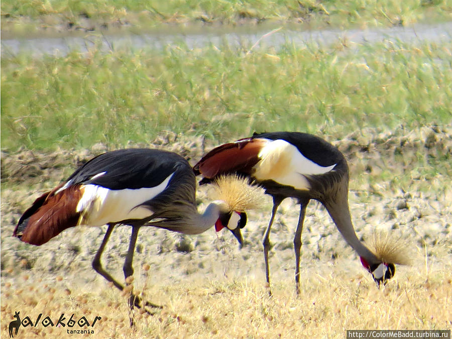 та самая Gray Crowned Crane