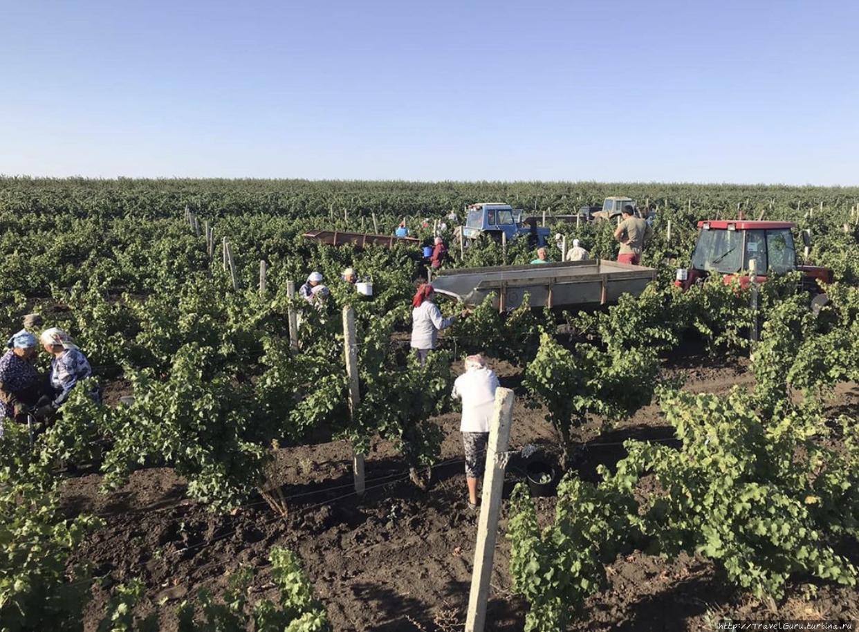 Сбор винограда осенью по
