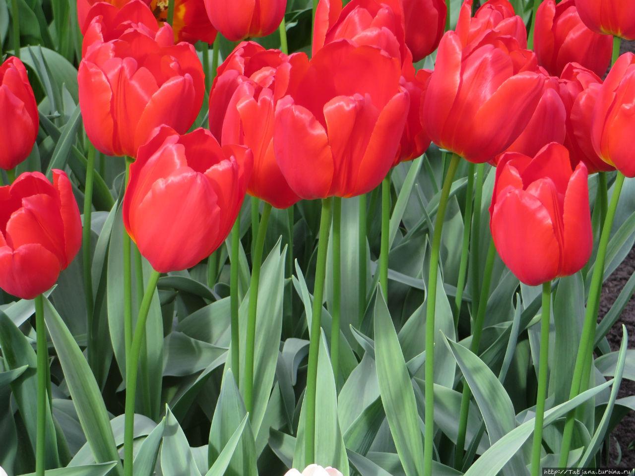 фото голландских тюльпанов тату делаются